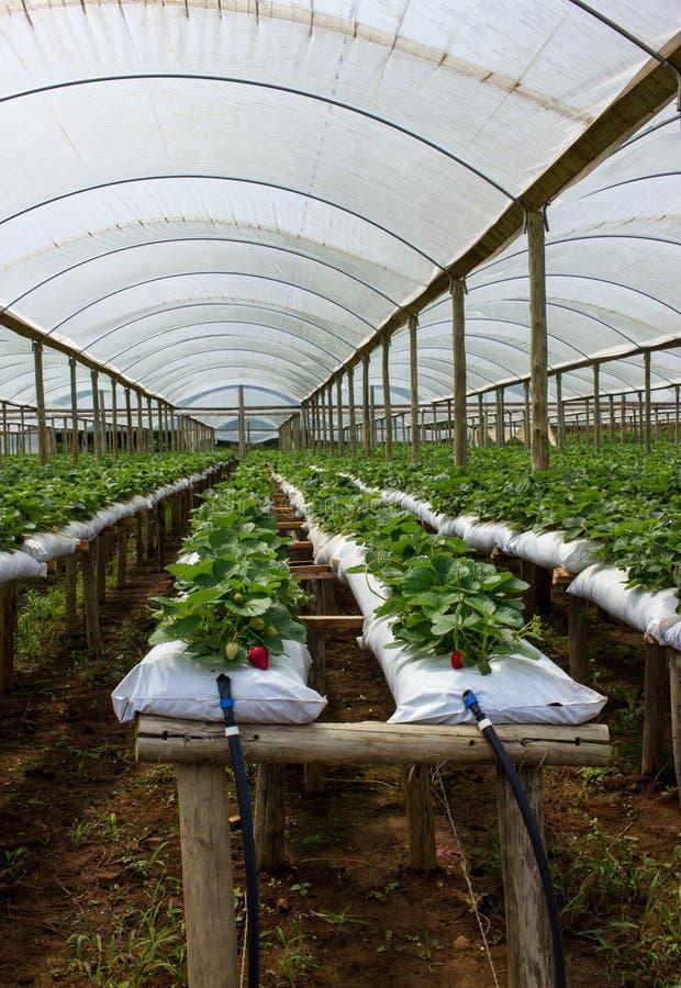 Exploração agrícola da morango dentro da casa verde foto de stock