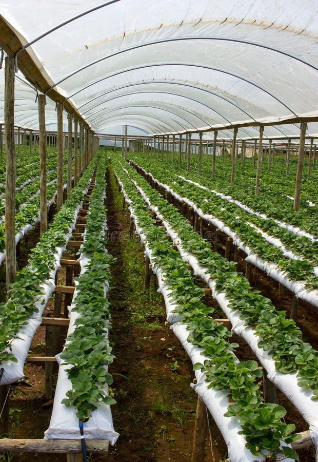Exploração agrícola da morango dentro da casa verde imagem de stock royalty free