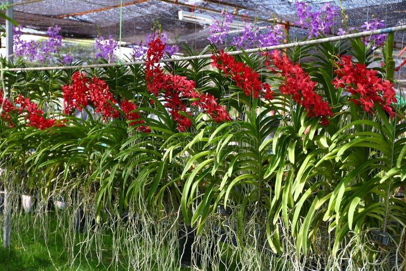 Exploração agrícola da orquídea foto de stock