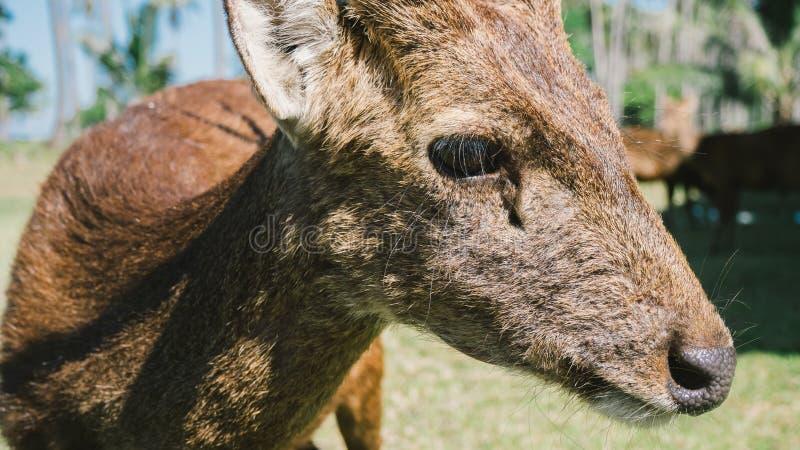 Exploração agrícola da rena de Ásia imagens de stock royalty free