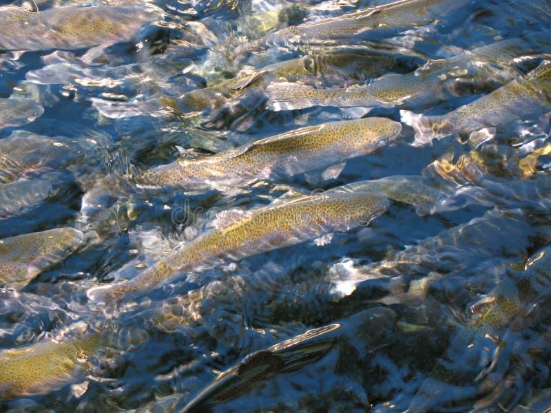 Exploração agrícola da truta, salmão no fim da água acima fotografia de stock