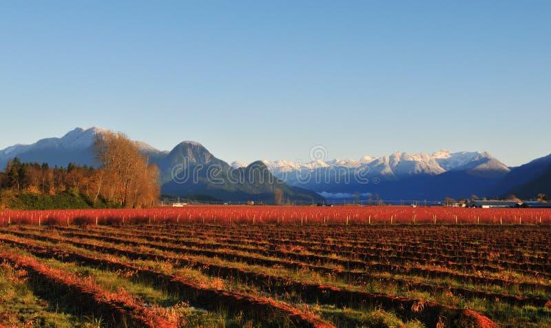 Exploração agrícola da uva-do-monte do vale de Fraser no inverno imagens de stock