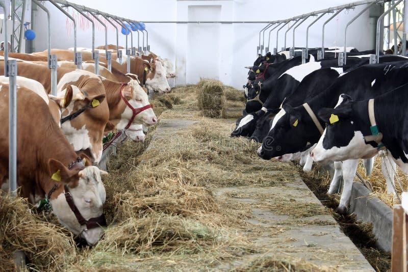 Exploração agrícola da vaca fotos de stock