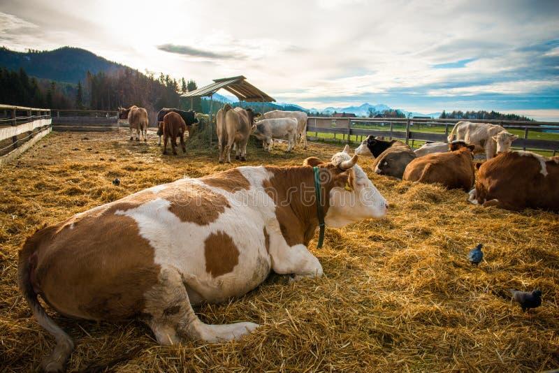 Exploração agrícola da vaca imagens de stock