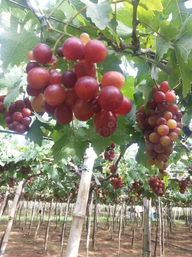 Exploração agrícola das uvas foto de stock