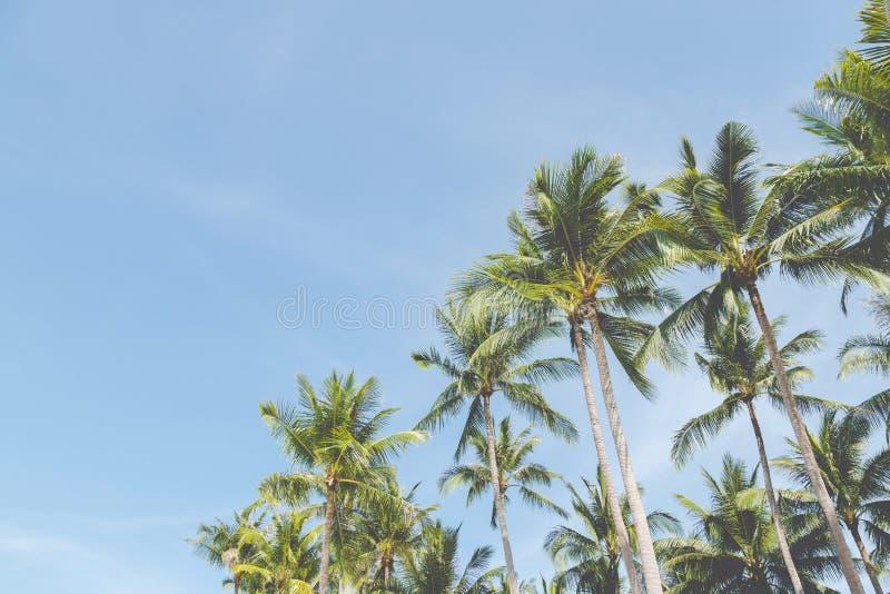 Exploração agrícola de árvores do coco da palma das folhas contra o céu azul, na costa tropical, árvore do verão, fundo bonito da imagem de stock