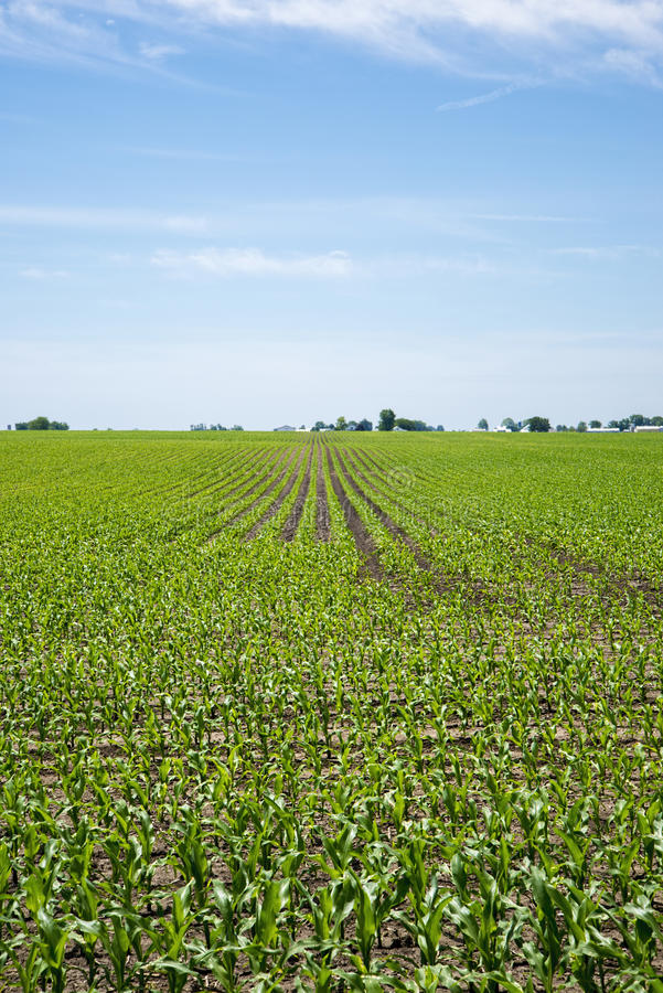 Exploração agrícola de Amish e campo de milho imagem de stock