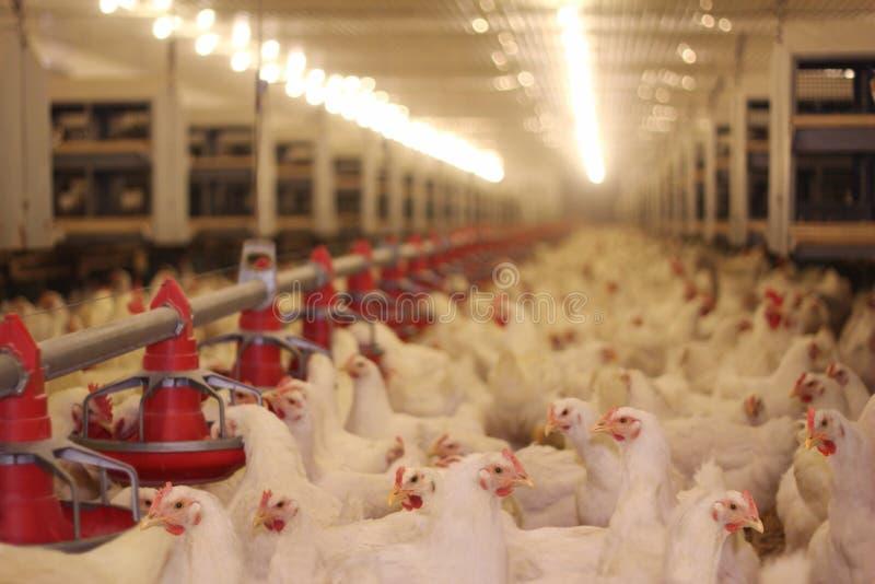 Exploração agrícola de galinha imagens de stock royalty free