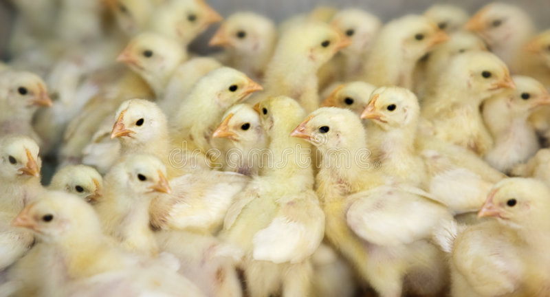 Exploração agrícola de galinha imagem de stock royalty free