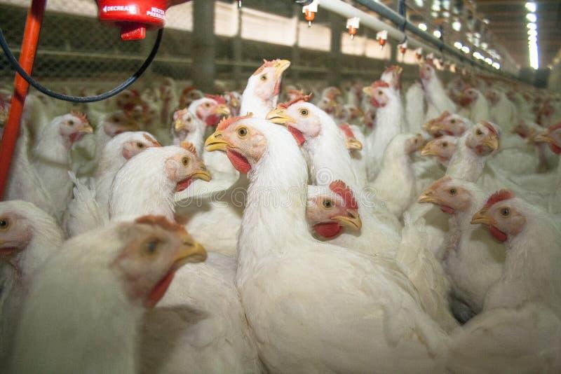 Exploração agrícola de galinha fotografia de stock