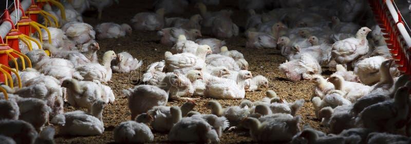 exploração agrícola de galinha com alimentação foto de stock royalty free