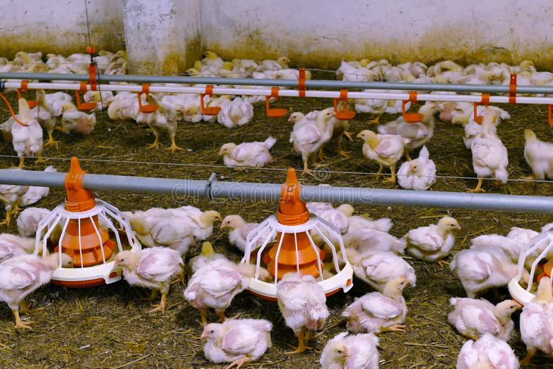 Exploração agrícola de galinhas moderna imagem de stock