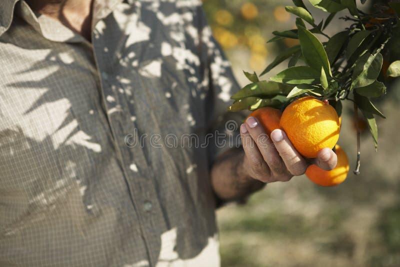 Exploração agrícola de Holding Oranges In do fazendeiro fotografia de stock royalty free