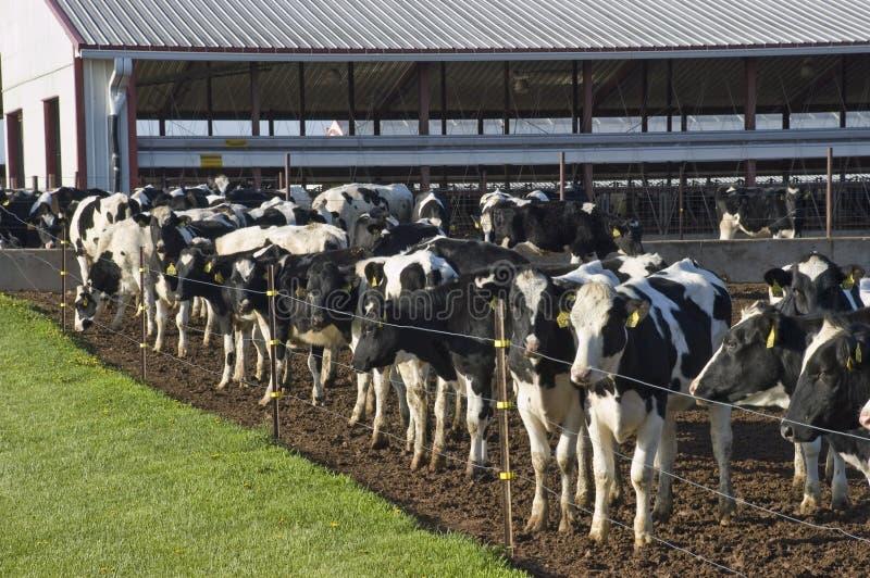 Exploração agrícola de leiteria corporativa moderna, negócio da agricultura fotos de stock