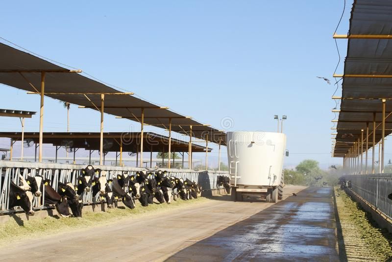 Exploração agrícola de leiteria do deserto: distribuição da forragem imagem de stock