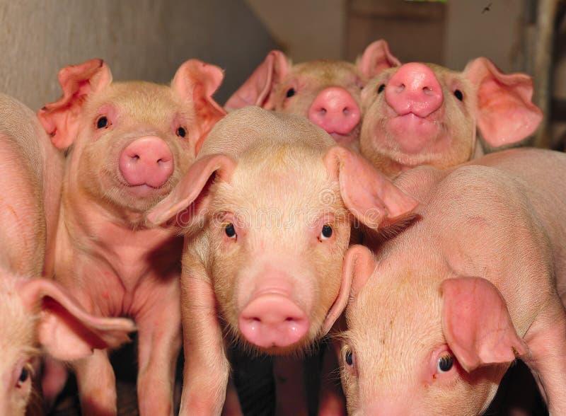 Exploração agrícola de porco fotografia de stock