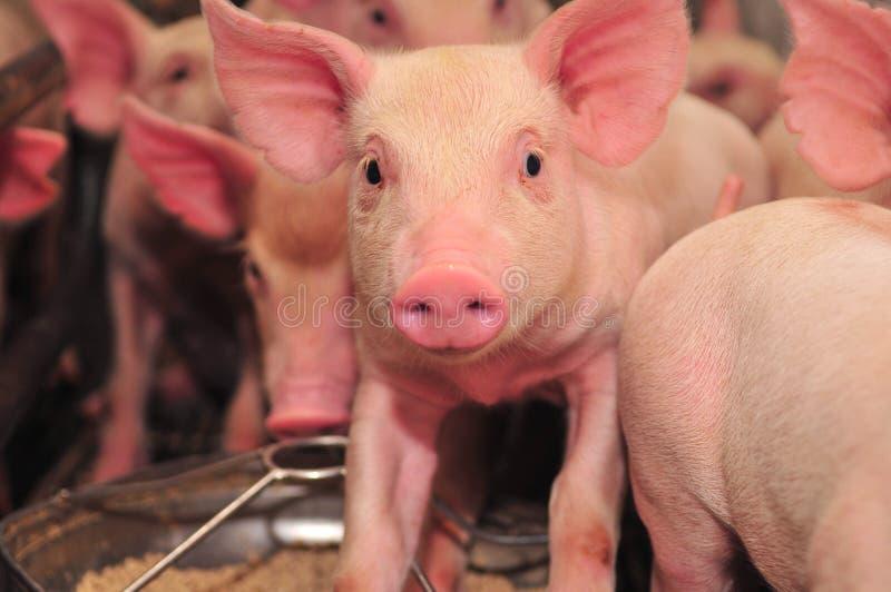 Exploração agrícola de porco fotos de stock royalty free