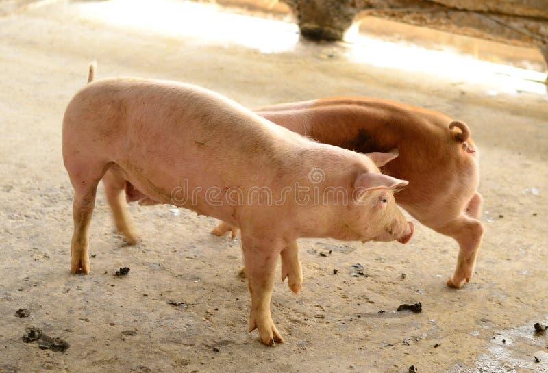 Exploração agrícola de porco comercial do estilo tailandês fotografia de stock royalty free