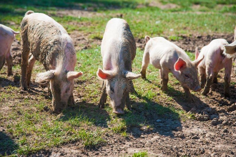 Exploração agrícola de porco Porcos no campo imagem de stock