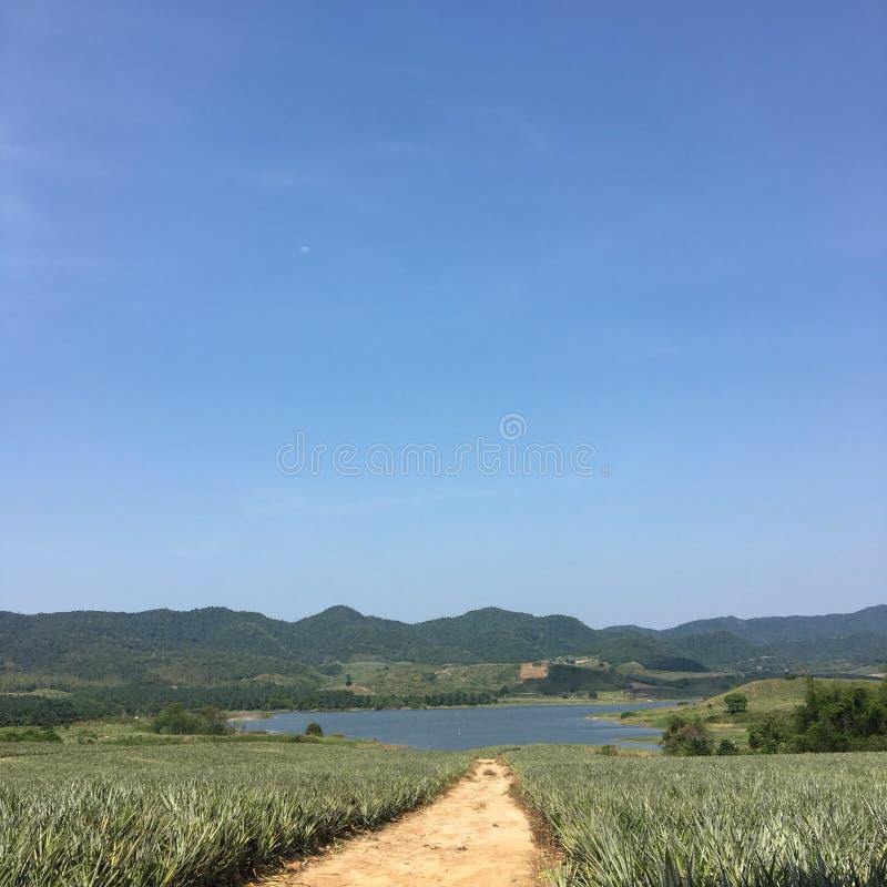 Exploração agrícola do abacaxi foto de stock royalty free