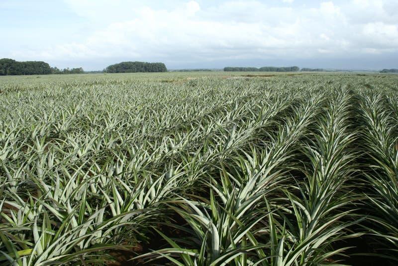 Exploração agrícola do abacaxi fotografia de stock royalty free