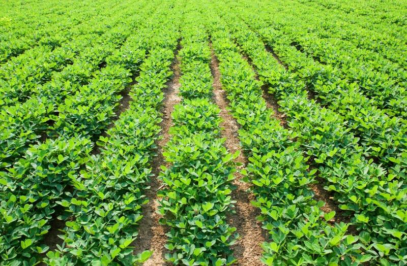 Exploração agrícola do amendoim foto de stock