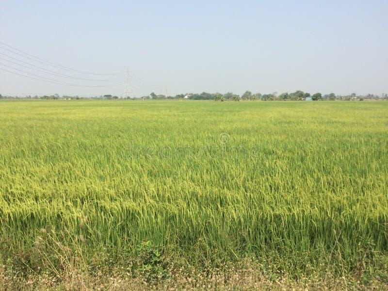 A exploração agrícola do arroz é cor verde fotografia de stock royalty free