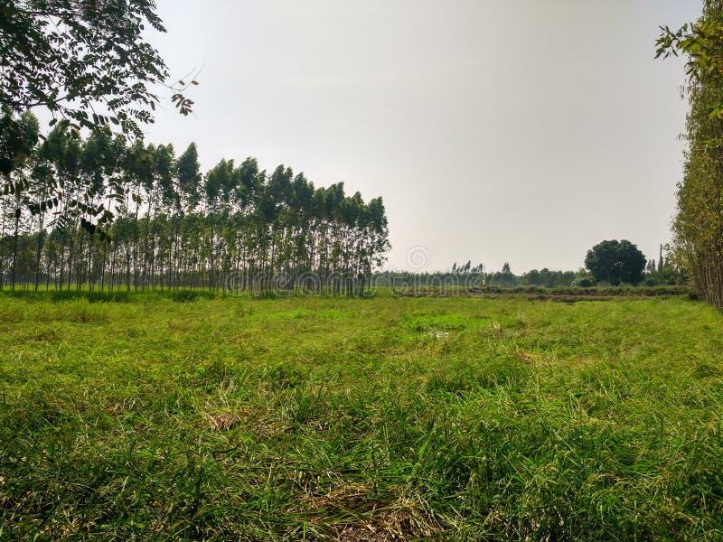 Exploração agrícola do arroz em Sakeao Tailândia imagem de stock royalty free