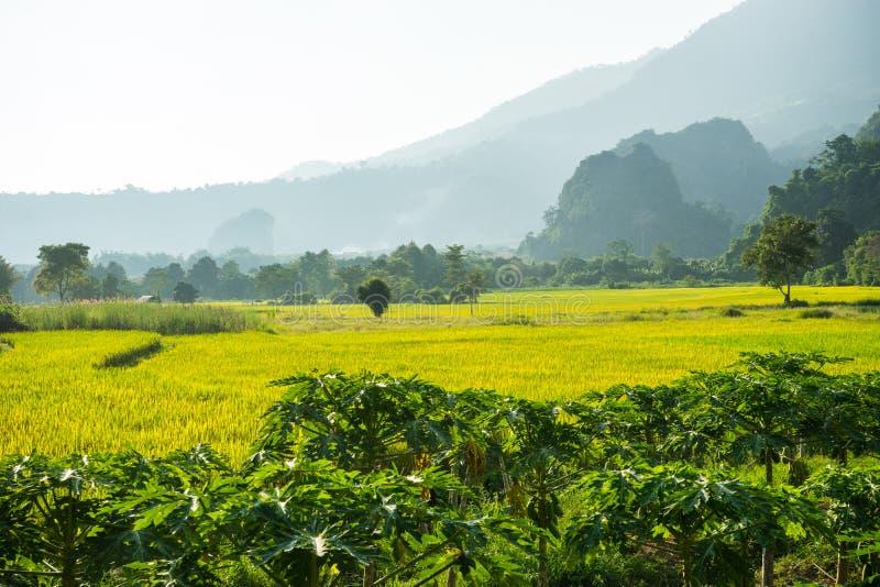 Exploração agrícola do arroz junto com a exploração agrícola da papaia fotos de stock royalty free