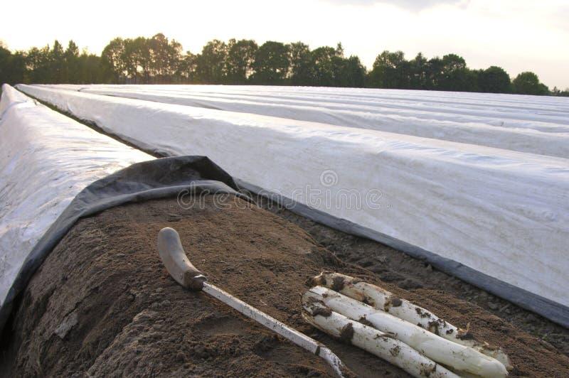 Exploração agrícola do aspargo fotografia de stock