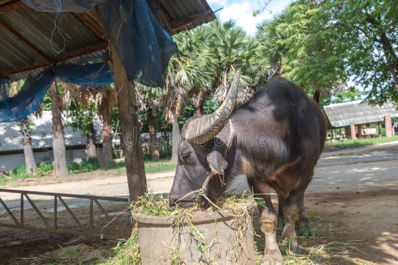 Exploração agrícola do búfalo em Suphanburi, Tailândia agosto de 2017 imagens de stock royalty free