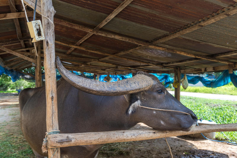 Exploração agrícola do búfalo em Suphanburi, Tailândia agosto de 2017 foto de stock