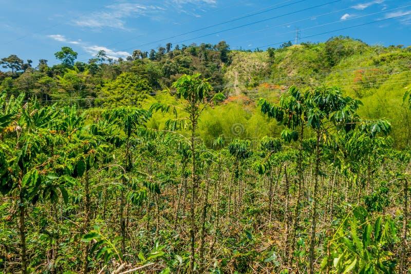 Exploração agrícola do café em Manizales, Colômbia fotografia de stock