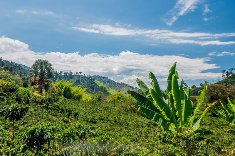 Exploração agrícola do café em Manizales, Colômbia foto de stock