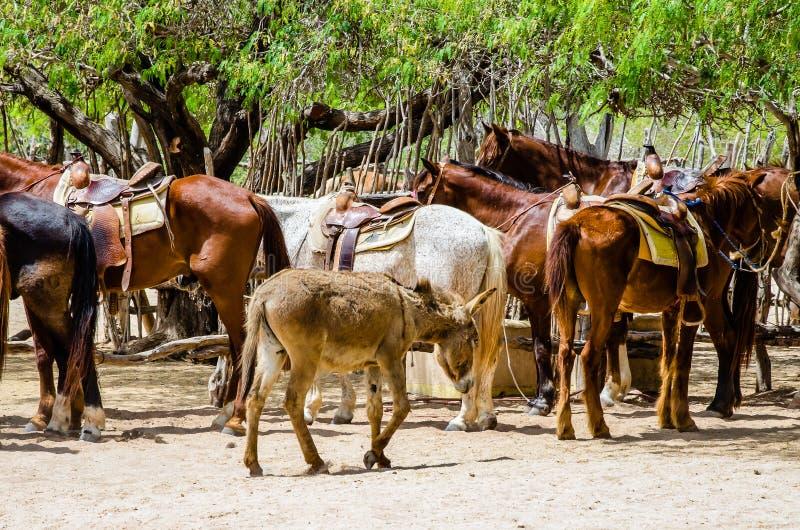 Exploração agrícola do cavalo em Cabo San Lucas, México fotografia de stock