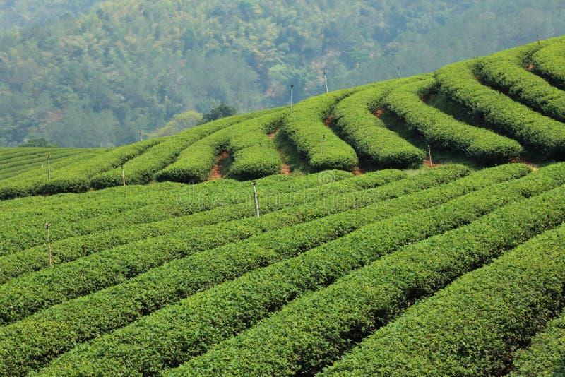 Exploração agrícola do chá verde foto de stock