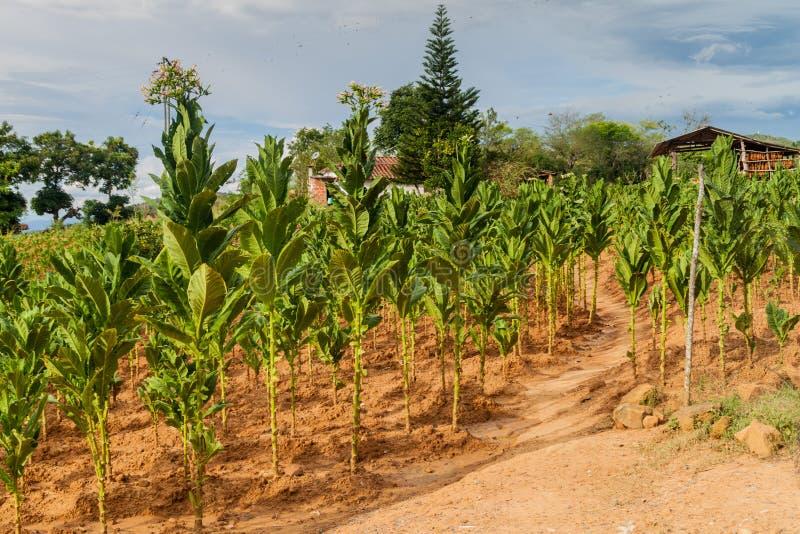 Exploração agrícola do cigarro fotografia de stock royalty free