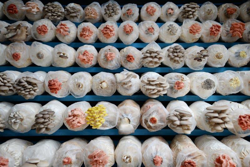 Exploração agrícola do cogumelo fotografia de stock royalty free
