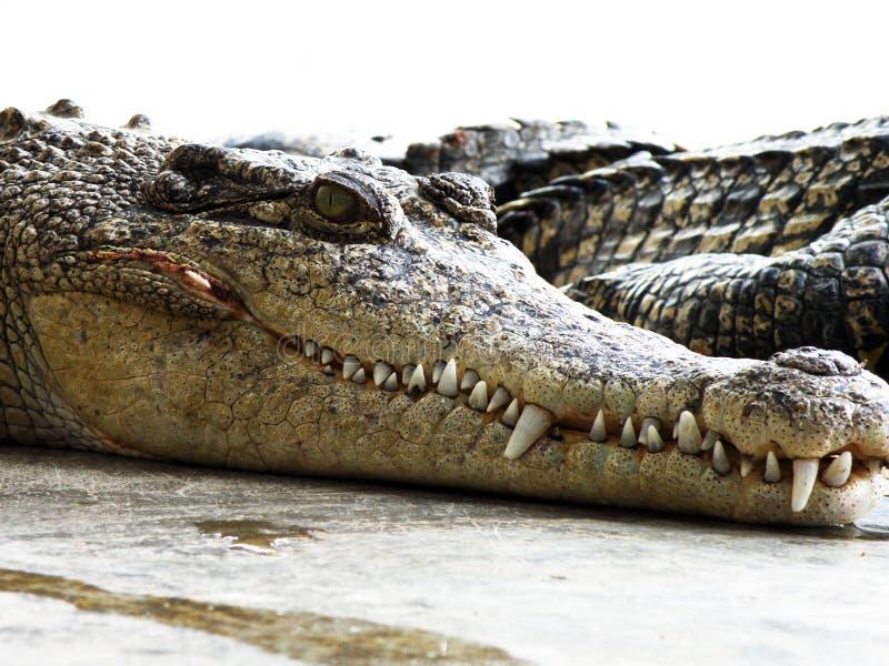 Exploração agrícola do crocodilo. Tailândia. foto de stock royalty free