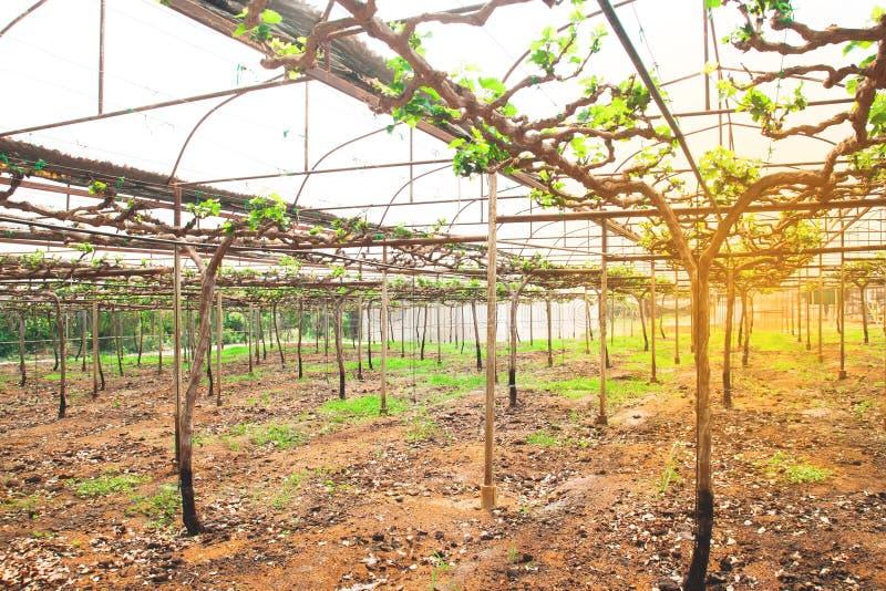 Exploração agrícola do fruto da uva, exploração agrícola crescente da agricultura do começo imagem de stock
