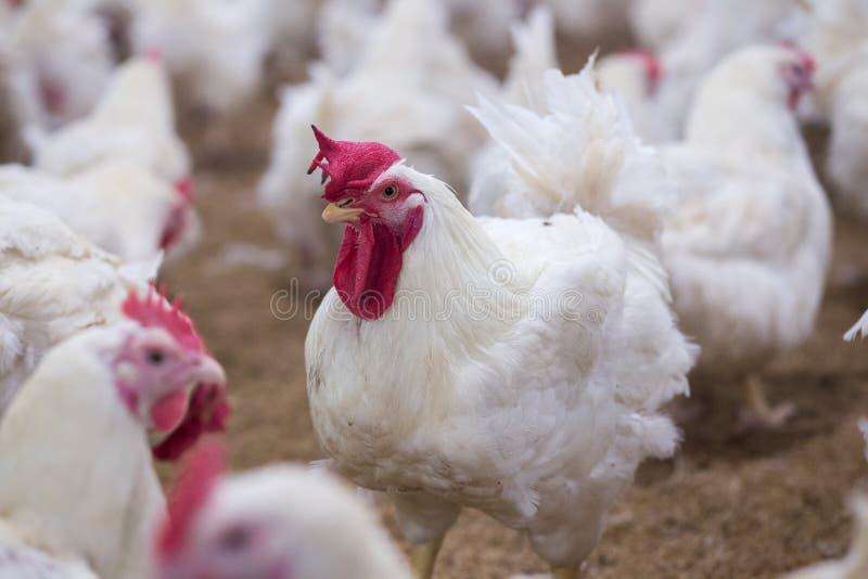 Exploração agrícola do negócio da galinha da exploração avícola imagem de stock