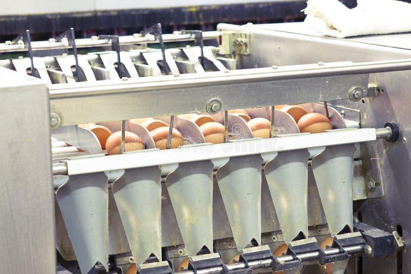 Exploração agrícola do ovo imagem de stock