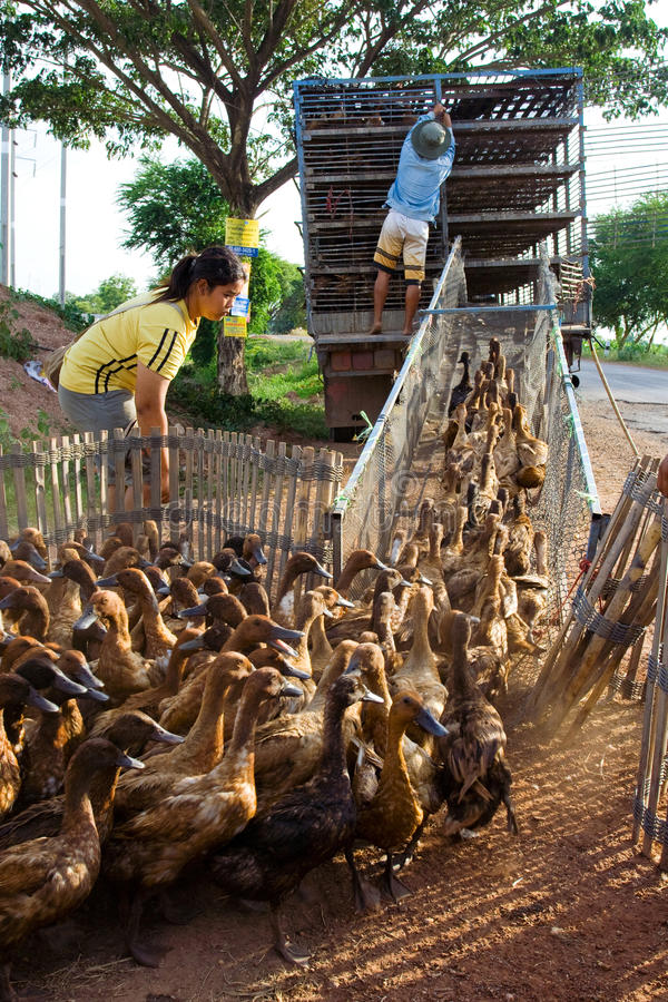 Exploração agrícola do pato fotos de stock royalty free