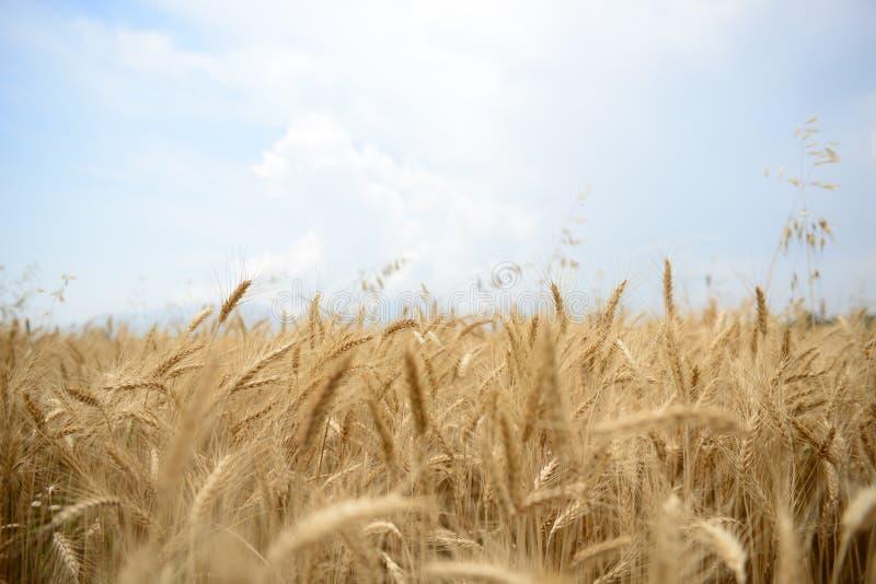 Exploração agrícola do trigo foto de stock royalty free