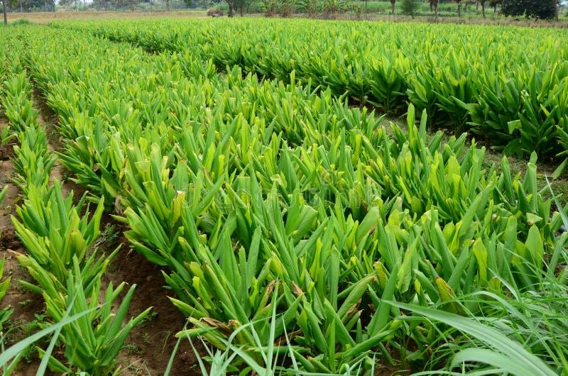 Exploração agrícola do Turmeric fotografia de stock royalty free
