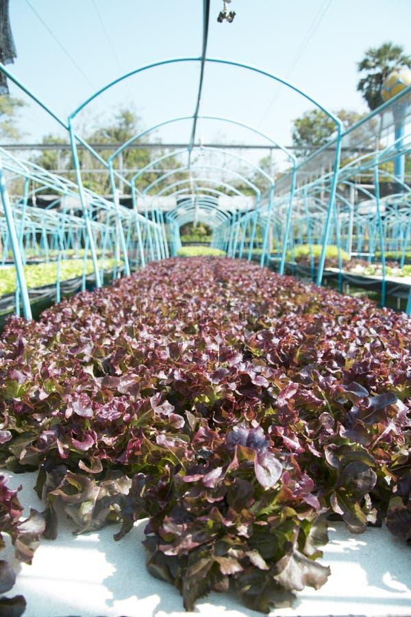 Exploração agrícola do vegetal da hidroponia foto de stock