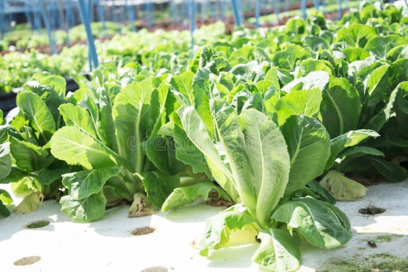 Exploração agrícola do vegetal da hidroponia foto de stock royalty free