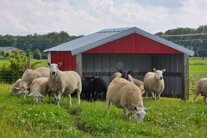 Exploração agrícola dos carneiros fotos de stock