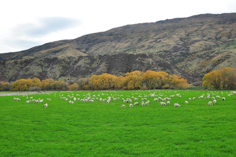 Exploração agrícola dos carneiros em Nova Zelândia foto de stock