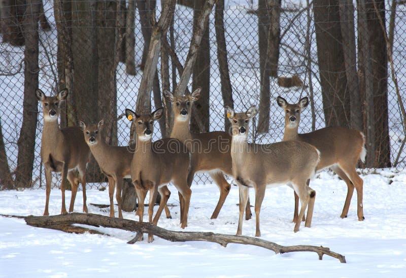 Exploração agrícola dos cervos foto de stock royalty free